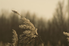 How it blows! (Ria Kock) Tags: trees bomen nederland thenetherlands dordrecht biesbosch bladesofgrass oosthaven hollandsebiesbosch grassen grashalmen riakock konicaminoltadynaxmaxxum7d