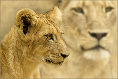 The Crown Prince of the Eyrefield pride (hvhe1) Tags: africa wild nature animal southafrica cub bravo wildlife lion pride naturesfinest malamala specanimal animalkingdomelite hvhe1 hennievanheerden ayrfield rattrays vosplusbellesphotos