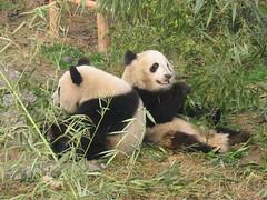 China, panda's