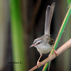 Plain Prinia (somchai@2008) Tags: priniainornata plainprinia  vosplusbellesphotos