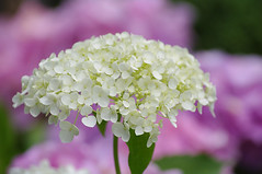 Hydrangea [pentax K-7] (h orihashi) Tags: flowers flower macro nature japan pentax hiroshima harmony 日本 花 soe breathtaking globalvillage nationalgeographic 広島 k7 naturesfinest flowerotica fantasticflower flickrsmileys mywinners royalgroup platinumphoto aplusphoto flickrhearts flickraward diamondclassphotographer flickrdiamond excellentphotographerawards heartawards diamondstars colourartaward flickrsfantasticflowers betterthangood justpentax goldstaraward flickrestrellas peaceawards highqualityimages alemdagqualityonlyclub photographersgonewild colorphotoawardpremier dragonflyawards pentaxk7 championsphotography