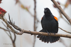 _53F5181 Red-winged Blackbird in the fog (~ Michaela Sagatova ~) Tags: bird nature rain singing dundas birdofprey highiso redwingedblackbird agelaiusphoeniceus michaelasagatova