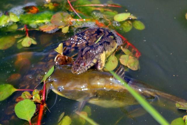 snake fish 2