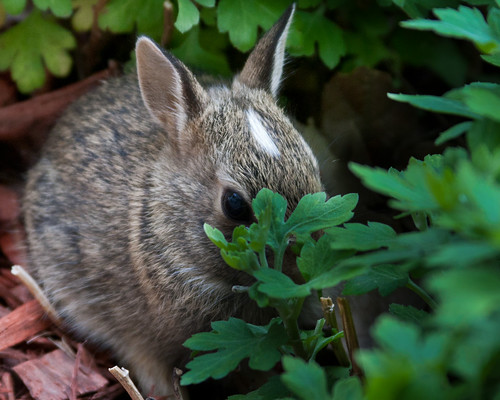 Baby Bunny by matneym