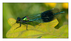 160/365 Banded demoiselle (Mister Oy) Tags: pictures uk greatbritain england macro insect photo image picture photograph bryn wigan davegreen odonata bandeddemoiselle sigma150mmf28macro nikond700 aphotoof oyphotos