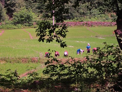 Women working in the rice paddies.