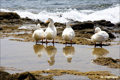 Pato Aventuras (La Manigua) Tags: sea reflection mar ducks reflejo atlántico oceano patos sigma18200