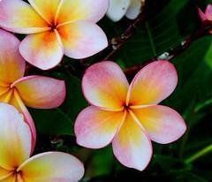Frangipani Bunch (Swami Stream) Tags: pink flowers red india canon rebel plumeria bangalore frangipani karnataka naturesfinest blueribbonwinner banaglore wonderla bengaluru karnatka xti swamistream theunforgettablepictures swamiswaminathan swamistreamcom