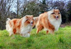 babs and midas (Kris Kros) Tags: dog pet photoshop photography high collie dynamic perro kris rough range hdr kkg midas babs cs3 firstquality photomatix kros kriskros 1xp kk2k friendscorner kkgallery