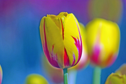 yellow-red tulips from Istanbul Tulip Festival by Pentax K10D
