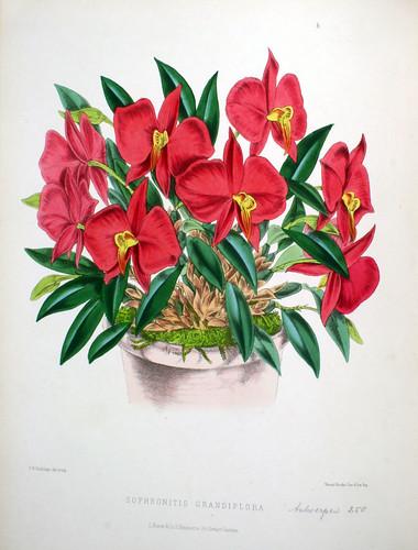 Sophronitis grandiflora