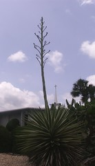 Agave americana bud stalk 2 (E_Journeys) Tags: plant may fl agave bud 2008 centuryplant citruscounty agaveamericana budstalk