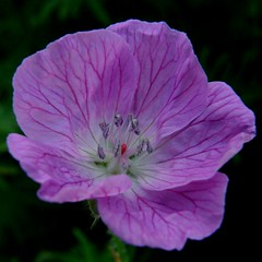 granium vivace / perennial geranium (OliBac) Tags: pink flowers plant flower macro fleur fleurs plante garden purple jardin mauve geranium botanique perennial plantes flore vivace granium geraniumsanguineum lifeasiseeit fantasticflower golddragon olibac mywinners anawesomeshot theunforgettablepictures overtheexcellence betterthangood theperfectphotographer olympussp560uz awesomeblossoms