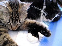 Sweet Paws (veganmichele) Tags: friends rescue pet macro love animal cat paw tabby kitty tuxedo efa