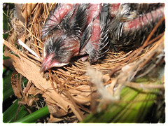 5-days-old nestlings of Pycnonotus goiavier (Yellow-vented Bulbul)