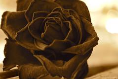 timeless rose (mariacaridad) Tags: flower macro nature up field rose closeup sepia petals dof close bokeh antique nostalgia bloom nostalgic depth tone