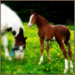 SWEET CHILD OF MINE (Edward Dullard Photography. Kilkenny, Ireland.) Tags: kilkenny ireland horses green nature animals yellow eire ponies piebald emeraldisle equine irlanda ierland edwarddullard