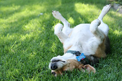 Grass Puppy 2 (Jessicalifornia) Tags: dog cute beagle grass animals puppy furry daisy