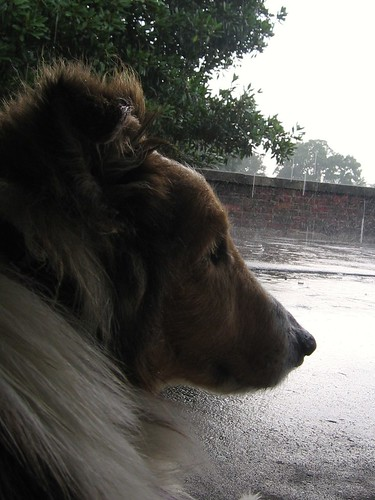 Jimmy Gimme Sheltie waits out the rain