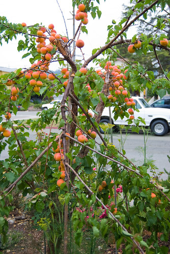 More Broken Apricot Branches