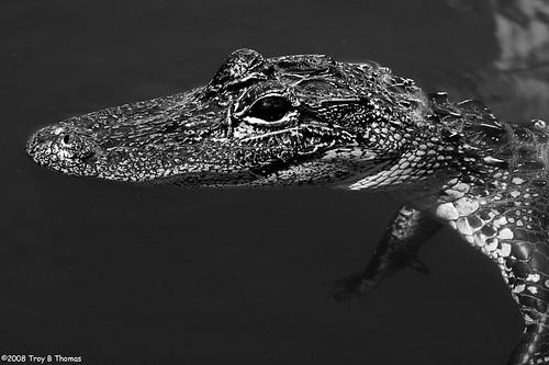 Gator7_20080705
