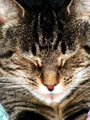 Zen Cat (moonpie dig it) Tags: sleeping pet cats pets detail macro cute nature beautiful animal closeup cat fur mammal photography furry kitten feline perfect fuzzy tabby kitty fluffy best whiskers domestic kitties shorthair housecat domesticshorthair kissablekat