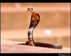 Cobra (sreeji..) Tags: cobra snake taliparamba kannur sony dsc h7 sreejith inapp elapidae hsi spectacledcobra najanaja kerala wwwsreejicom thaliparamba  net sreejinet  photography kenoth photo photos
