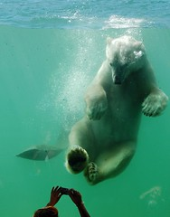 So Here I Am! (daaynos) Tags: bear cute nature water swimming fun zoo rotterdam blijdorp photographer underwater ad bubbles polarbear paws tania ijsbeer aadvillerius impressedbeauty addagblad mijnzoo