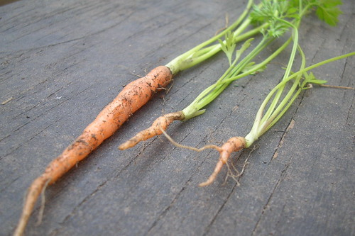 First Carrots