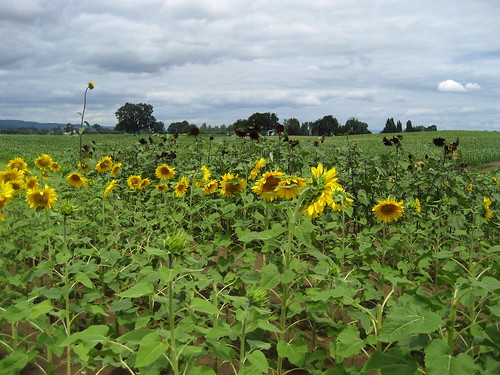 Sunflowers, Sauvie Island