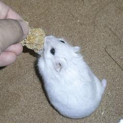 粟の穂を食べるましろ