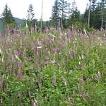 Foxglove, East Tiger Mountain thumbnail