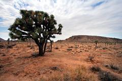 joshua tree (thefuton) Tags: california nature nationalpark desert joshuatree mojave mojavedesert joshuatreenationalpark
