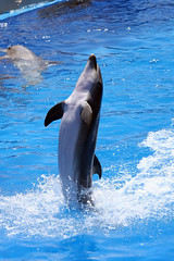 Dancing Dolphin (Randy Shelton) Tags: ocean california sea nature water sandiego dolphin h2o seaworld themepark porpoises bushgardens