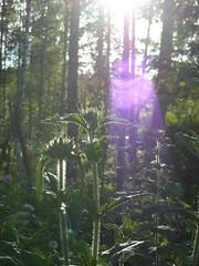 Shine (Elsa Kurppa) Tags: summer suomi finland 2008 sommar kes  burninglove lychnischalcedonica brennendeliebe  palavarakkaus brinnandekrlek elsakurppa