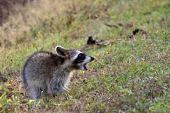 Juvenile Raccoon, Brazos Bend