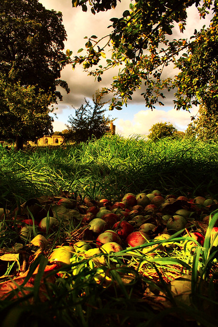 Fallen Apples in a Somerset Orchard