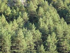 Pinar sobre el ro Cinca (binsen) Tags: huesca pirineos ordesa monteperdido