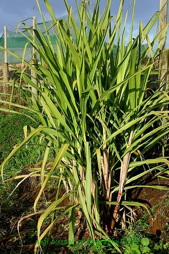 sugarcane in our garden