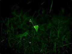 Love .    Light .   Life . (Adarsh Padegal) Tags: light india green love leaves dof heart depthoffield backlit hyderabad andhra adarsh pca hpc prema telugu andhrapradesh  shamirpet krishlikesit adarshpadegal lovelightlife  hydeprabadphotographyclub