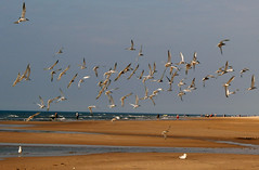 flock of terns (kelsk (having a break)) Tags: sea holland beach thenetherlands egmond goldenglobe oceanshore abigfave ultimateshot bluerribbonwinner ysplix