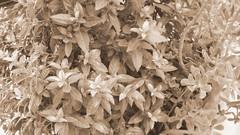 Come d'autunno sugli alberi le foglie?!? (gdn79) Tags: antico seppia