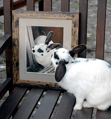Do My Ears Look Big in This? (Ali Bannister) Tags: portrait rabbit animal funny stevie drawing pastel commission alibannister