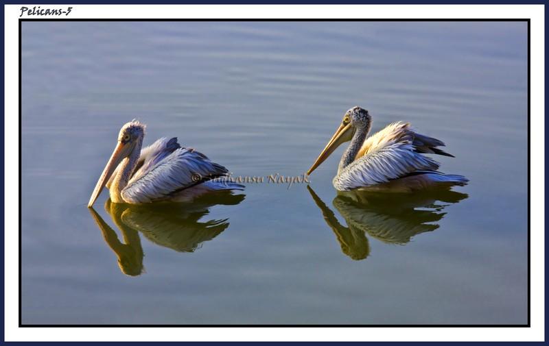 Pelicans-5