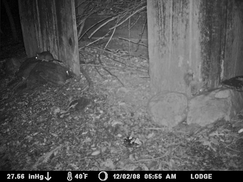 woodrat at outhouse ignoring foil