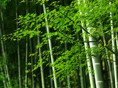 [フリー画像素材] 自然風景, 森林, 竹・竹林, 緑色・グリーン, 風景 - 日本 ID:201110081400