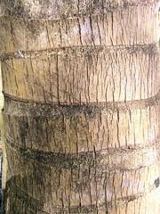 Coconut bark (smallislander) Tags: texture background philippines free textures stuff backgrounds mindanao generalluna siargaoisland