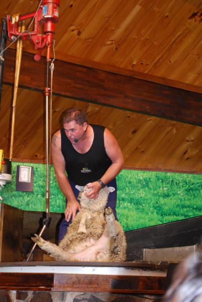 sheep_sheering_3
