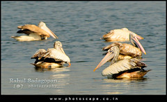 (Rahul Sadagopan) Tags: lake bird nature water fauna swim nikon madras birding pelican chennai avian feathered d300 rahulsadagopan tokina150500f56 dsc5213