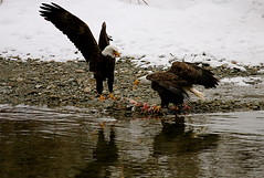 Skagit River Eagles, Skagit County (WA) (NetDep) Tags: river washington eagle baldeagle skagit combat skagitriver aerialcombat